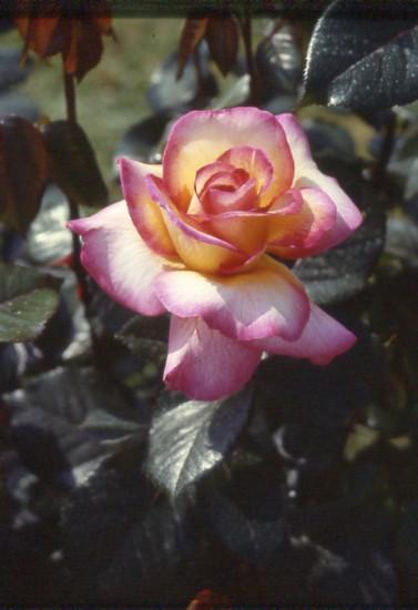 Rosa del Parco di Monza