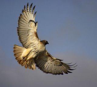 Il falco in amore